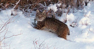 Image of bobcat in snow