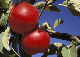 Low angle view of two Akane apples on a tree branch