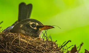 Female American Robin Sitting in Nest