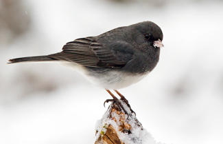 NPS image of dark eyed junco