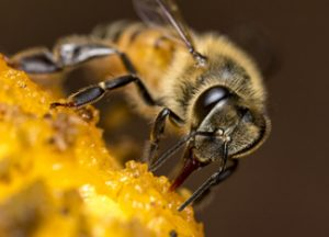Cfaes Researchers Reed Johnson And Sharon Treaster Give You Four Tips For Helping Honey Bees Why On Ohio State S Insights Website Photo Istock