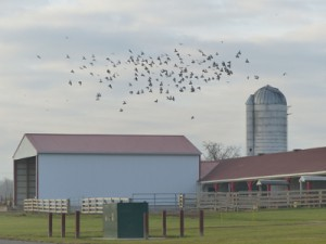 Rock Pigeons at Waterman Farm