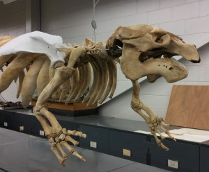 lateral view manatee skeleton