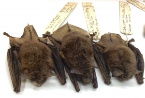 Three Indiana Bat skins from the Tetrapod Collection.