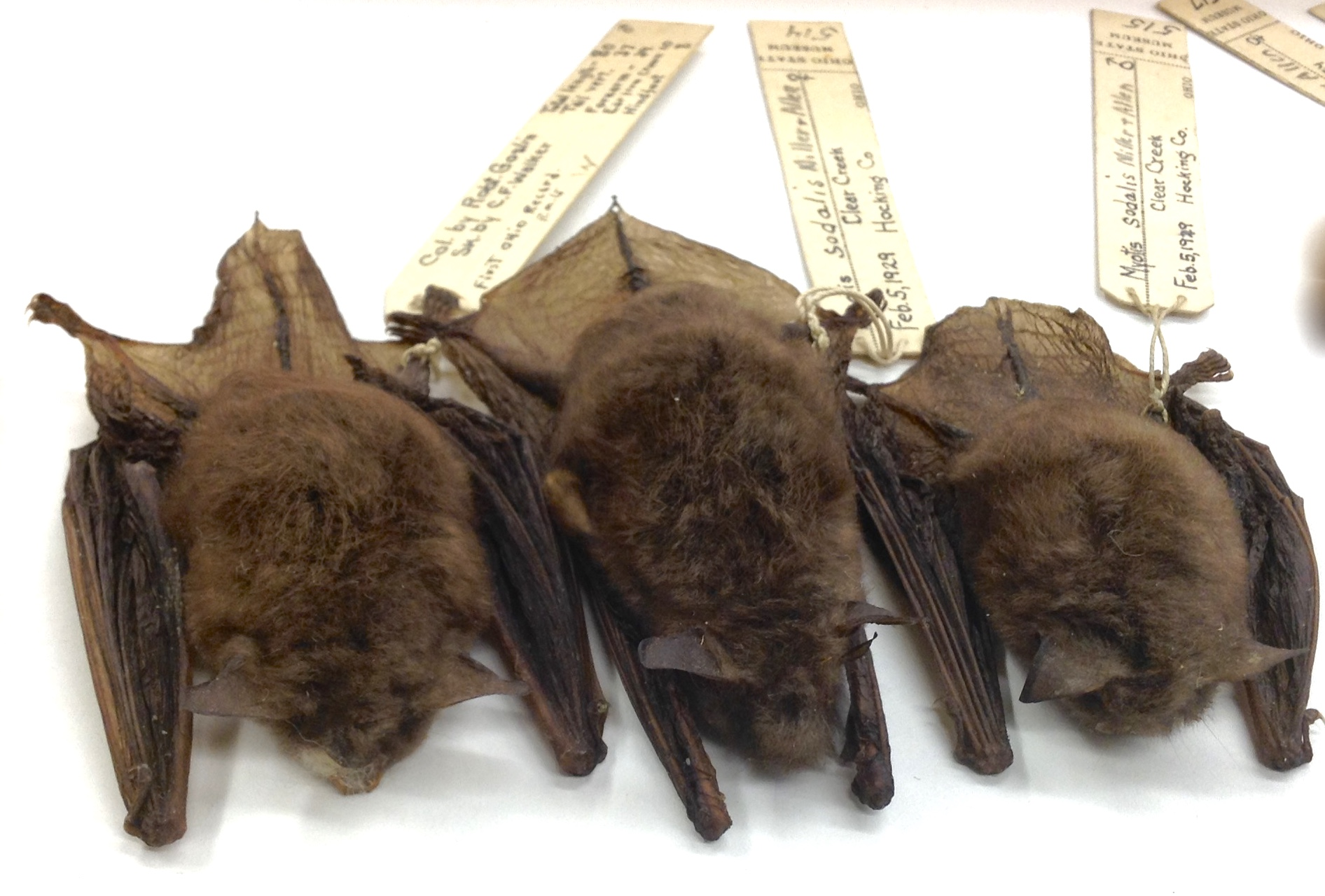 Bat skins from the Tetrapod Collection.