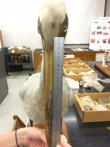 Measuring the beak length of an American White Pelican