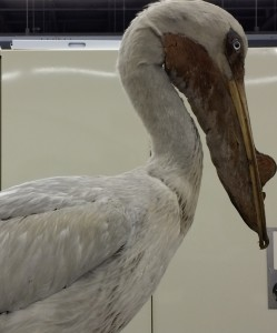 taxidermy mount of an American White Pelican