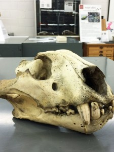 A tiger skull that we have here in the Tetrapod Collection.