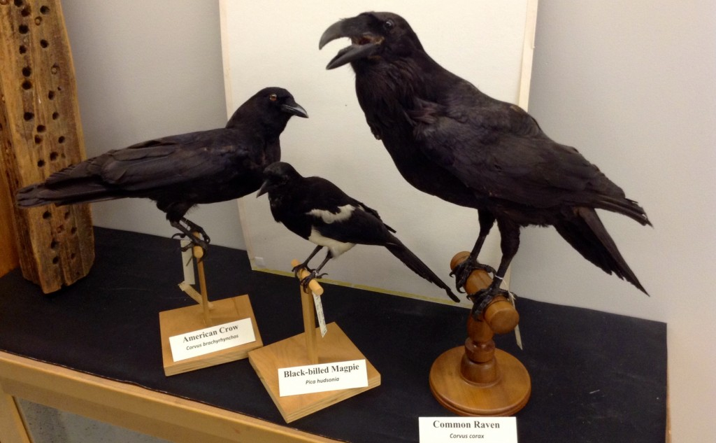 Three taxidermy Corvidae Mounts (Magpie, Crow, Raven)