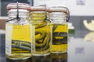 Snakes in Jars