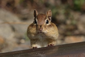 Eastern chipmunk stuffed with acorns
