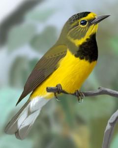 male Bachman's Warbler