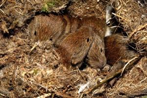 bank voles huddling underground