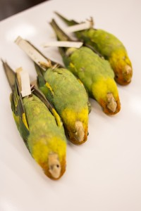 Carolina Parakeet specimens are among the irreplaceable extinct specimens held in the Tetrapod Collection. (Photo Credit: Chelsea Hothem 2016)