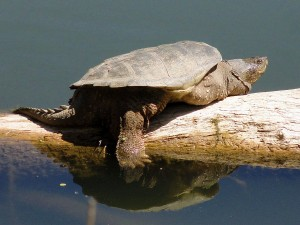 A common snapping turtle resting on a log