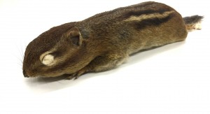 Eastern chipmunk study skin