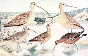 group of Eskimo Curlews