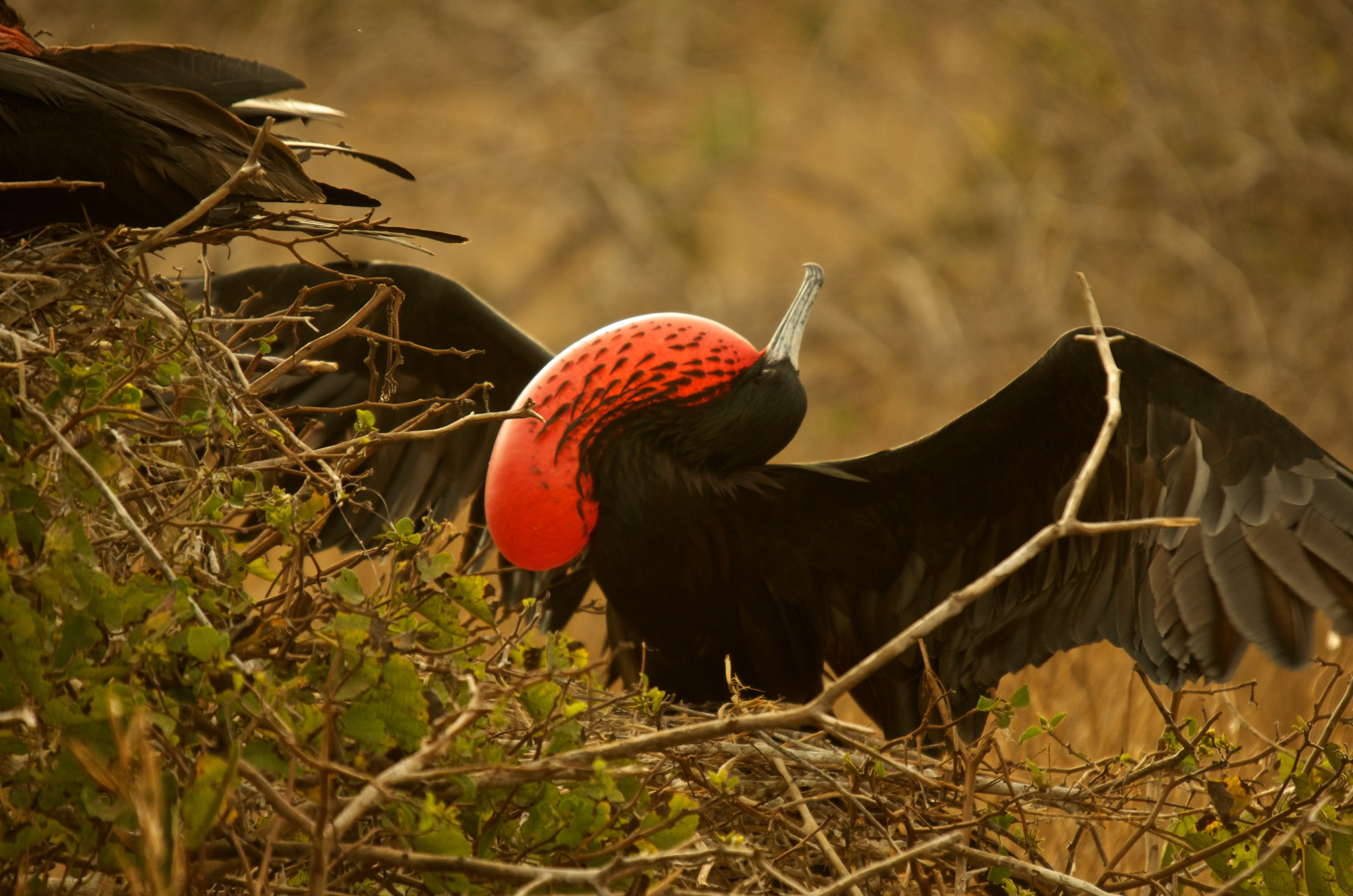 Magnificent Frigatebird displaying inflated red throat pouch