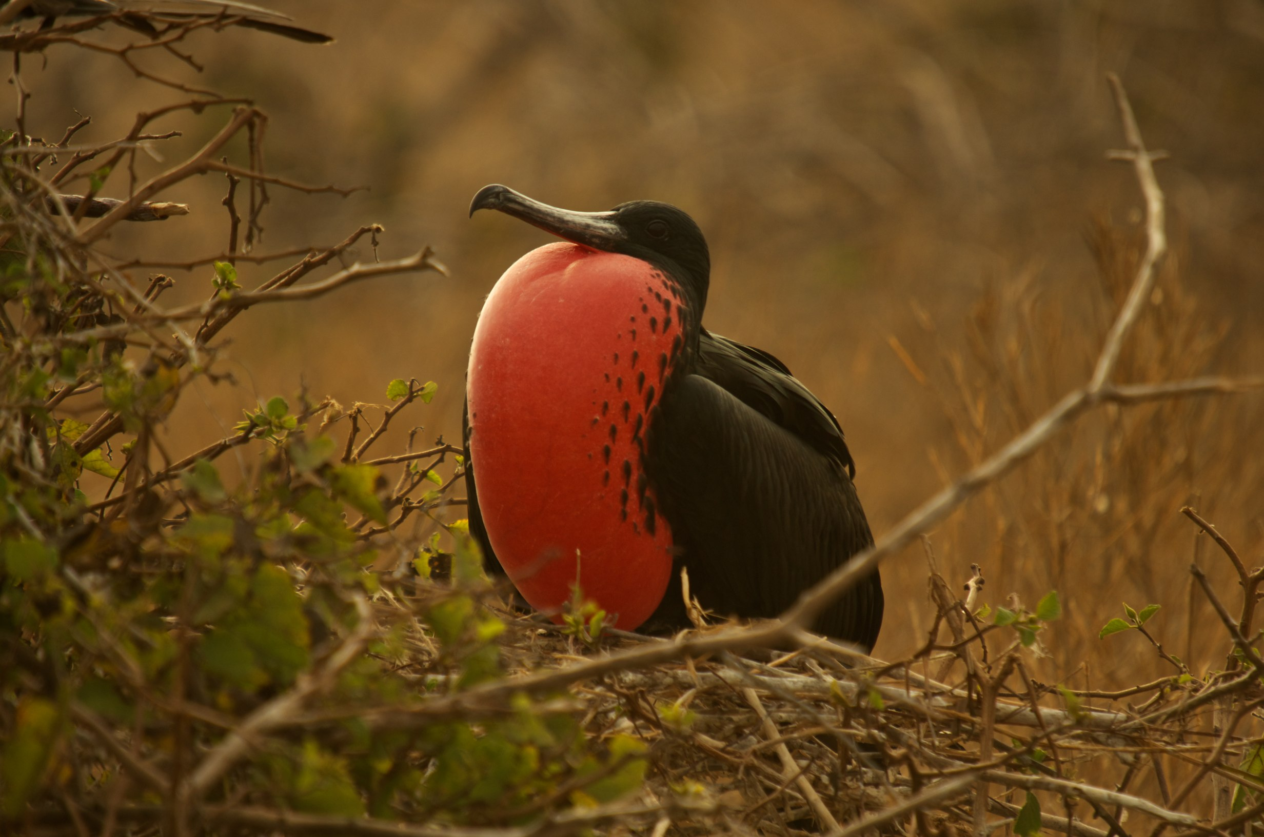 Magnificent Frigatebird with inflated red throat pouch