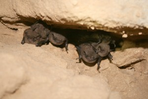 Indiana bats in cave
