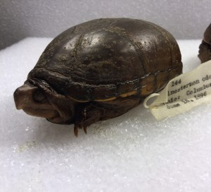 The oldest specimen collected in 1896, a common musk turtle Sternotherus odoratus