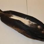 OSUM Bird 13510 Magnificent Frigatebird