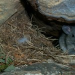 Allegheny woodrat in crevice