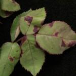 201300695 - Rose, Rosa sp. - Downy Mildew, Peronospora sparsa - 02