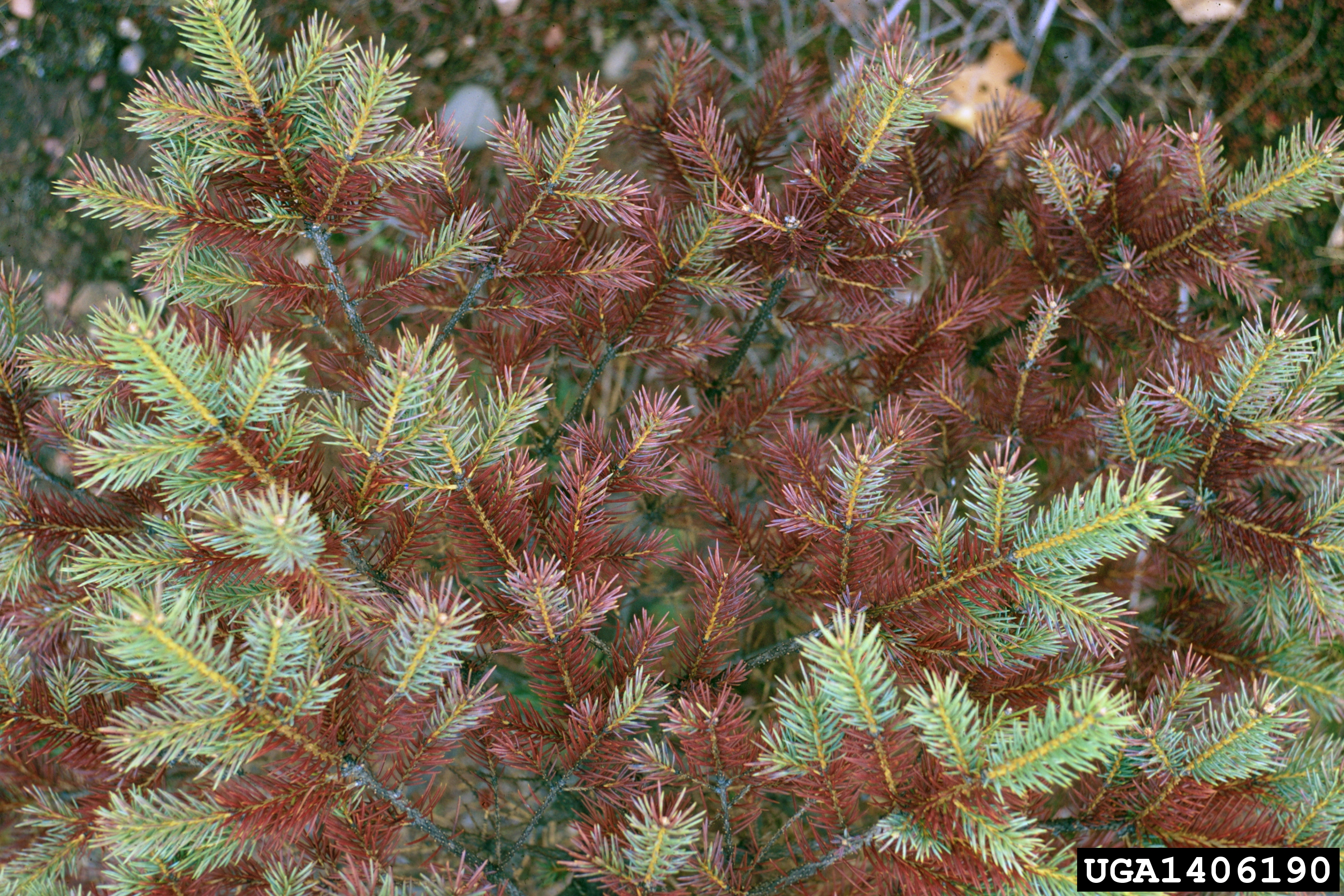What is it? What to do about it?   Ornamental Disease Facts
