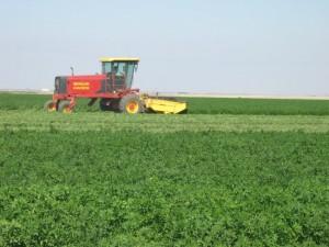 alfalfa harvesting 1