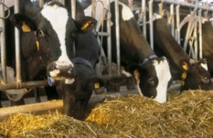 Dairy Forage