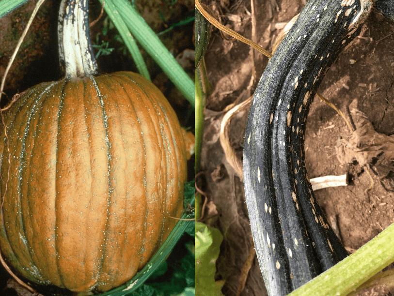 25 Seeds Pumpkin Vegetable Hundredweight