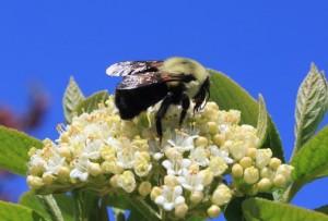 48429-bumblebeeonviburnum