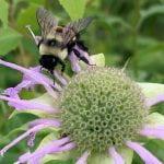 A rusty patched bumble bee. Photo credit Tamara Smith, USFWS