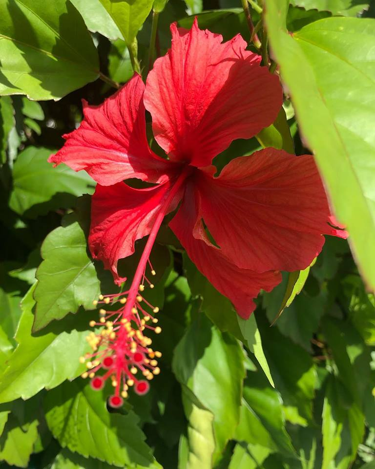 This appears to be a red hibiscus flower. There's beauty everywhere,  especially around Puerto Rico, which is also called the island of  enchantment,
