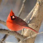 The Cardinal on the Silver Tree  (by guest blogger Lynne Brophy)
