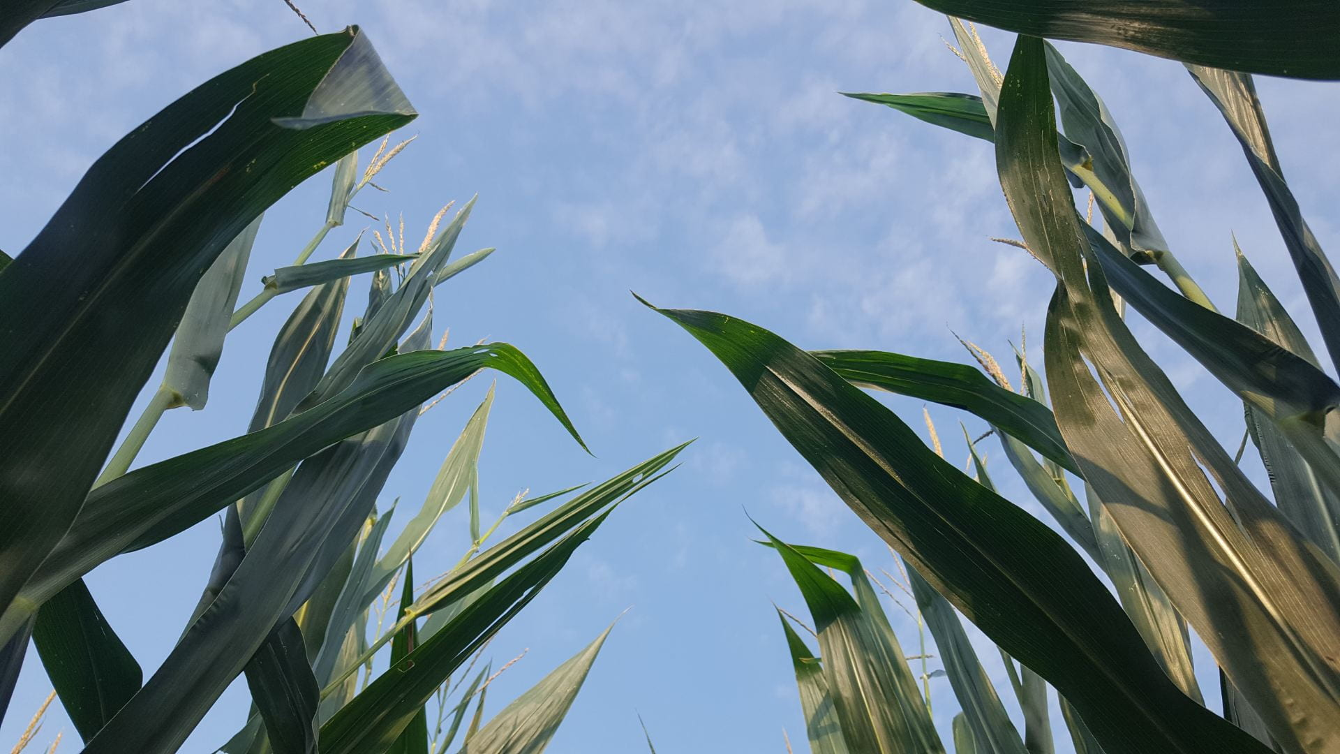 Corn leaves and tassels with blue skies in the background