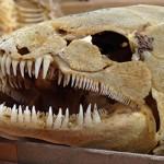 Bowfin (Amia calva) skeleton