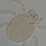 Larval parasitengone mite (Acariformes) with only 3 pairs of legs.