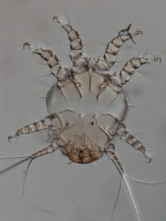 Simplified legs IV in this phoretic nymph of Chaetodactylus (Acariformes: Astigmata)