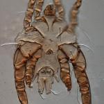 A male Edentalges quadrilobatus (Astigmata, Psoroptidae). In this group males hold females using modified legs III.