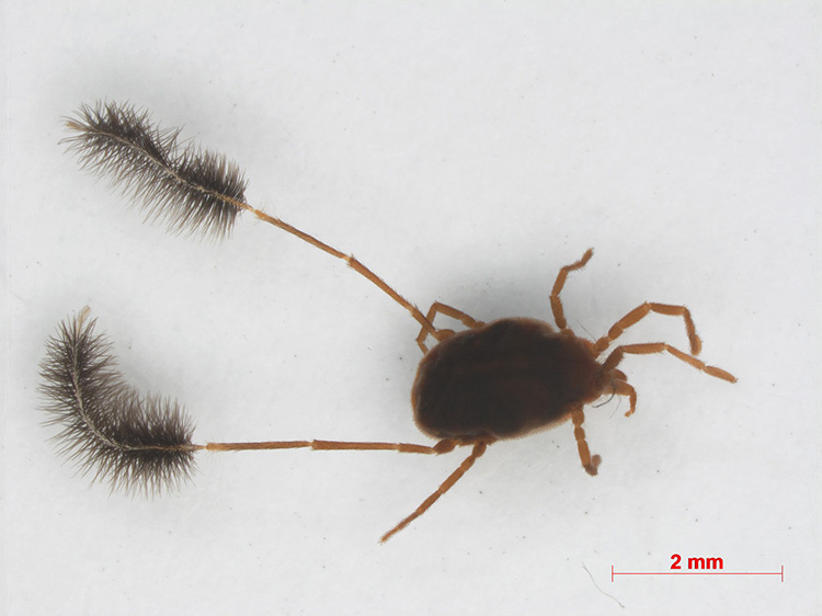 Eatoniana plumipes (Parasitengona). Legs IV resemble pipe cleaners, function unknown