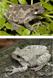 Gray tree frog (top) and Cope's gray tree frog (bottom). Courtesy of Wikipedia and Encyclopedia of Life