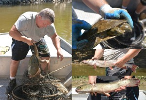 Collections manager Marc Kibbey mans the nets. The snapping turtle (left) and spiny softshell turtle (top) are released back into the river.  The Northern Pike (middle) and Bowfin (bottom) are measured and recorded. Photo on left by Paul Larson; photos on right by Brian Zimmerman.