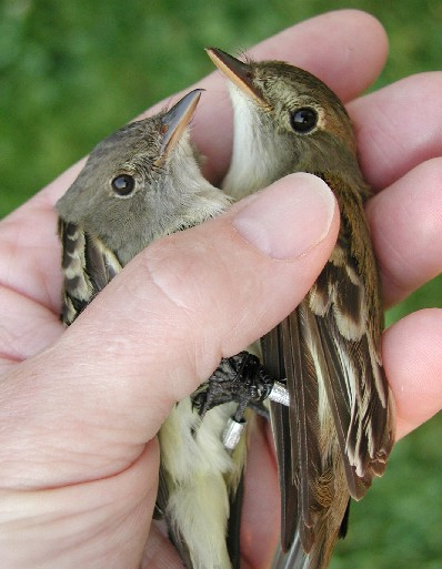 Willow flycatcher (left) and Alder flycatcher (right). Photo: Powdermill Nature Reserve