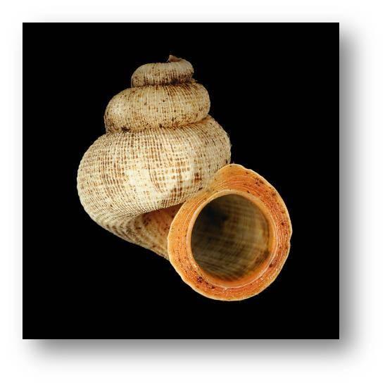 Annularia pisum (Adams, 1849) - Jamaica