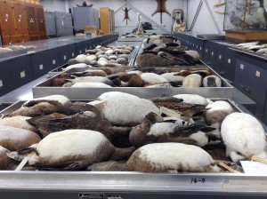 Trays of brown and white waterfowl laying out on trays to be reorganzied.
