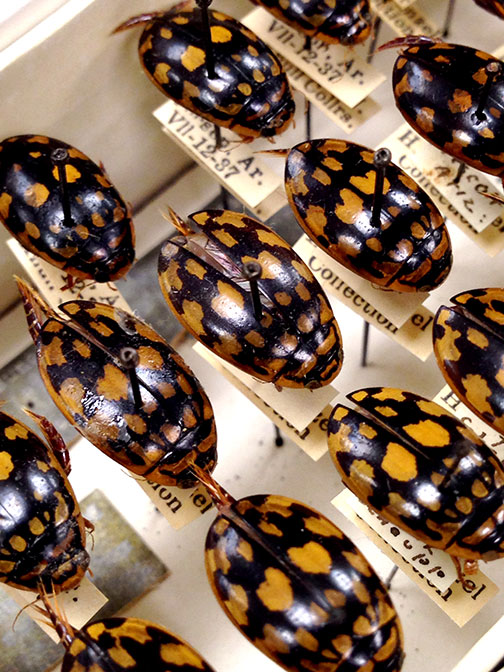 Aquatic beetles.