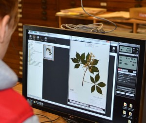 Digitization of plant specimens in the OSU Herbarium.