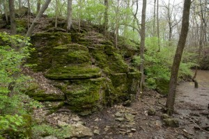 A  typical habitat of the rounded tongue moss, Anomodon minor, on limestone rock. From Duranceaux Park, Delaware County, Ohio. April 24, 2011. Photo by Bob Klips.